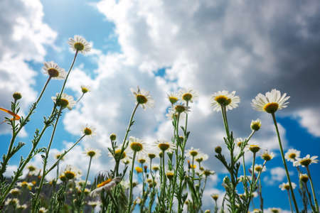 Bottom view of chamomile flowers grow on a summer meadow and stretch to the blue sky