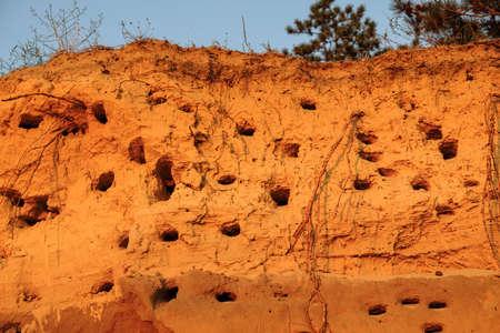 The steep coast with nests of birds in sand. Bird nest on the ground 版權商用圖片