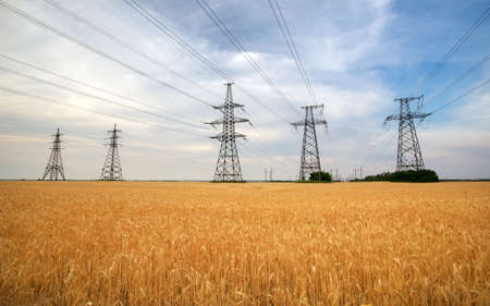 Agricultural field. Yellow wheat and power lines