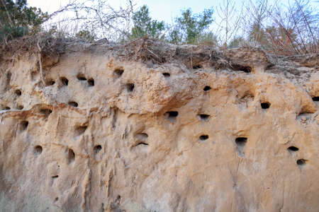 The steep coast with nests of birds in sand. Bird nest on the ground Archivio Fotografico