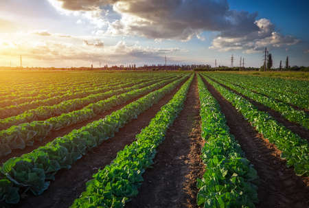 Landscape view of a freshly growing cabbage field. Sunset time
