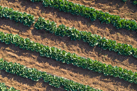 Cabbage plants in rows in a farm field, aerial view from drone.