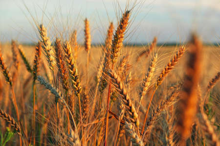 Wheat field at sunset. Beautiful evening landscape. Spikelets of wheat turn yellow. Magic colors of sunset light Imagens