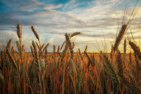 Wheat field at sunset. Beautiful evening landscape. Spikelets of wheat turn yellow. Magic colors of sunset light Stock Photo