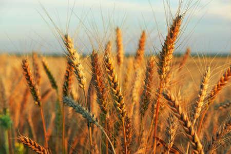 Wheat field at sunset. Beautiful evening landscape. Spikelets of wheat turn yellow. Magic colors of sunset light Standard-Bild