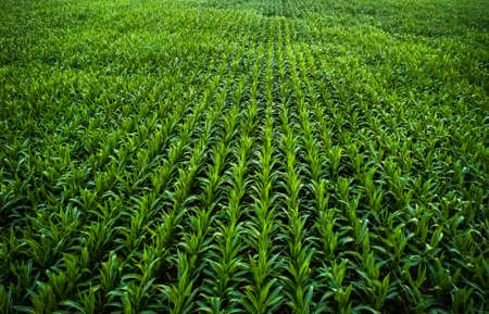 Young green corn is growing. Photo taken with a drone.