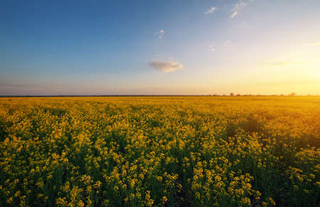 Rapeseed field at sunset. Blooming canola flowers in summer. Bright yellow rapeseed oil