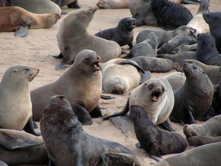 Cape fur seals colony