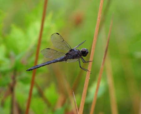 anisoptera: black dragonfly