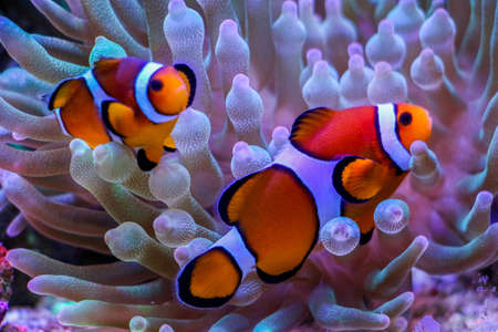 amphiprion: clownfish in anemone