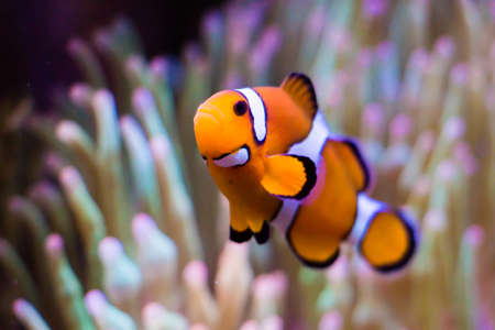 amphiprion ocellaris: Clownfish in the blue sea like nimo  Stock Photo