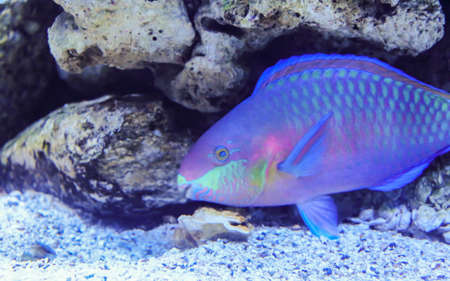 blenny: Parrotfish is underwater