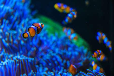 false percula clownfish: school of Clownfish at Anemone