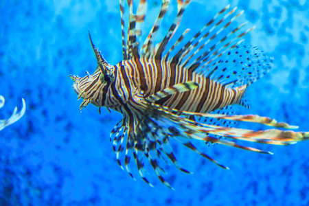 turkeyfish: Lionfish with blue background Stock Photo