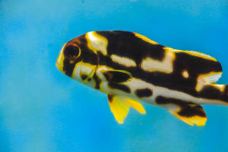 zebrafish: Puffer fish with blue background