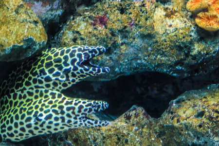 Two Moray eel in rock  photo