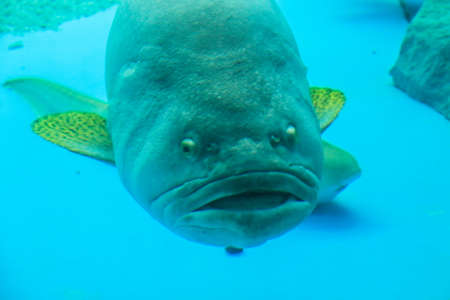 grouper fish is verybig fish in sea  photo