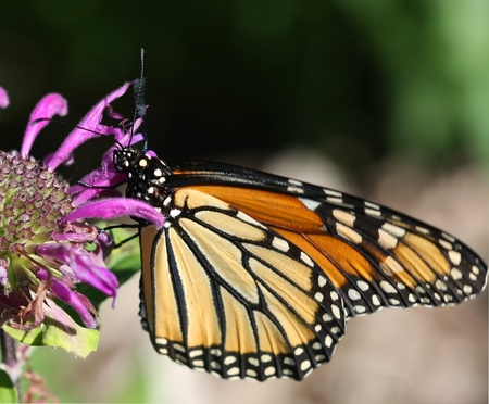 plexippus: Monarch Butterfly Danus plexippus Stock Photo
