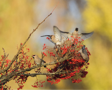 Waxwing on a rowan tree with red berries in Perth, Scotland