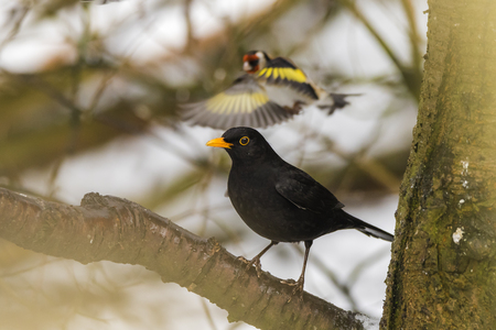 Blackbird perched on a branch in a woodland in RSPB reserve in Scotland with a goldfinch in background