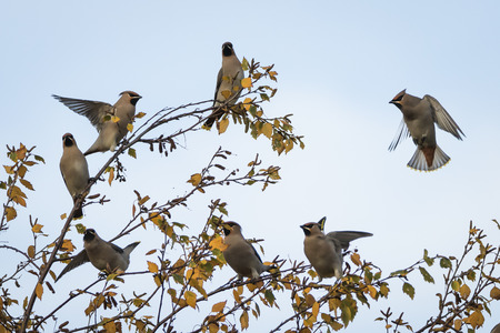 Flock of waxwings in flight an a winter birch tree, Perth Scotland