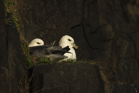 Two northern fulmars on a cliff edge in Aberdour, Fife Scotland