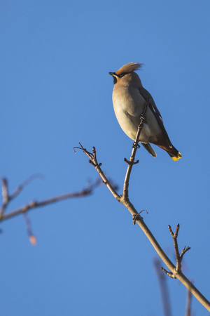 Waxwing on a tree with a blue sky background in Perth Scotland