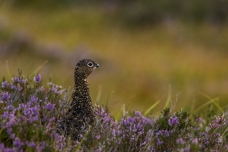 Female red grouse in the Scottish highlands