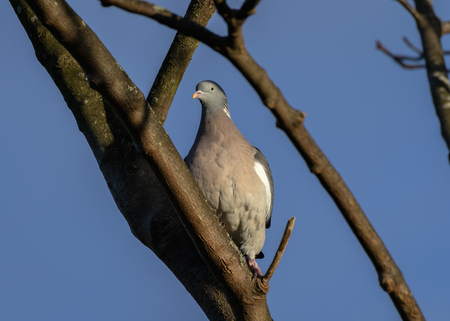 Wood pigeon on bare branches during winter in Scotland Reklamní fotografie