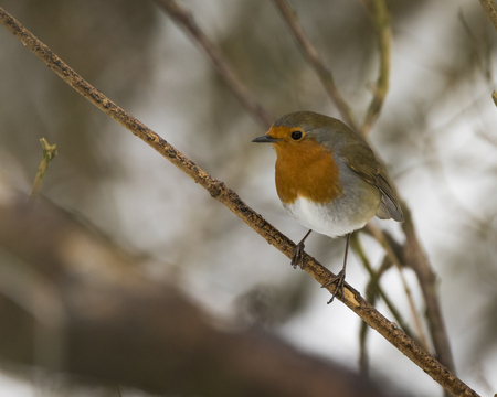 European robin perched on a twig in a woodland
