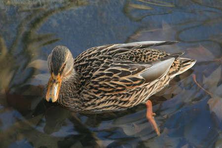 transparence: Mallard duck Stock Photo