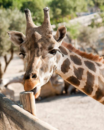 Giraffe licking a stick against the background of nature Stock Photo - 10968072
