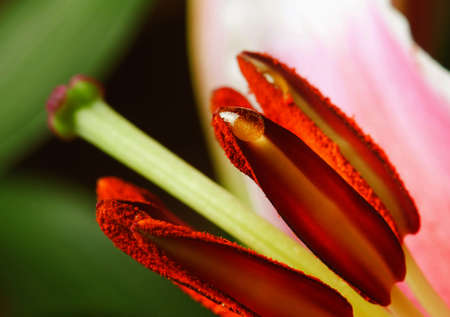 Flower Lily, filmed at close range photo