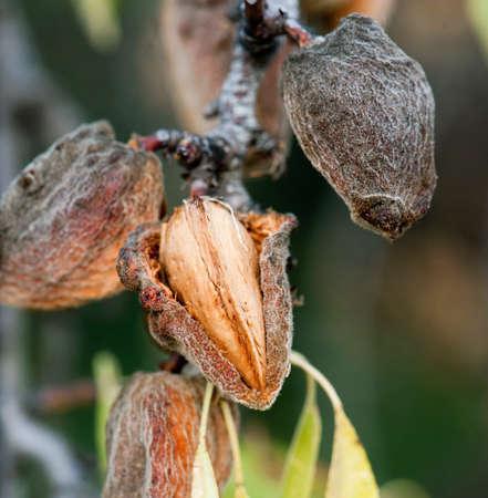 mandel: Ripe almendra on branches