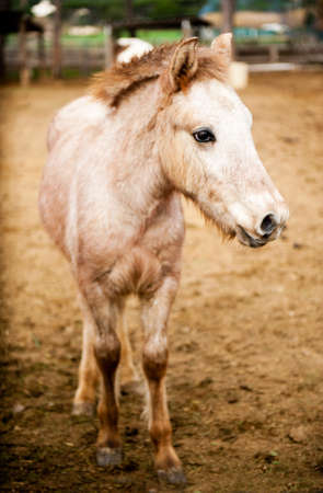 foretop: Beautiful beige pony in an outdoor Stock Photo