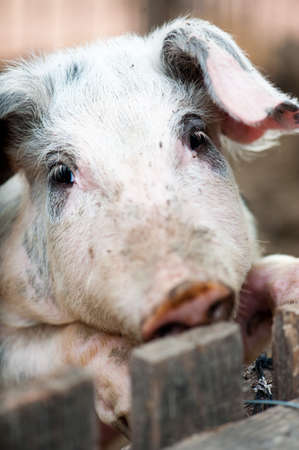 One little pig in a pigsty for breeding pigs