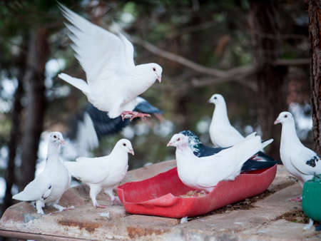 white flight feathers: Beautiful white doves eat feed against a background of nature Stock Photo