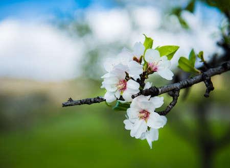 crab apple tree: Beautiful blooming flowers