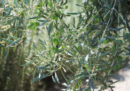 Olive tree branch with green little olives