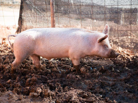 Young pig in the pigsties in the mud Stock Photo - 105070320