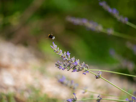 small bee is sitting on lavender flowers.