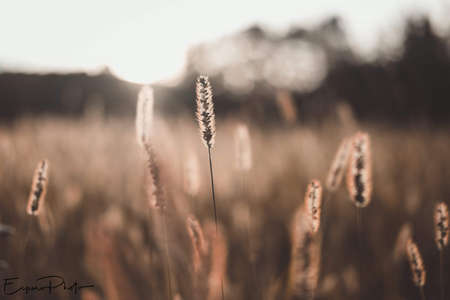 Tall wild grass field during sunset. High quality photo