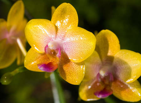 Phalaenopsis Orchid photo