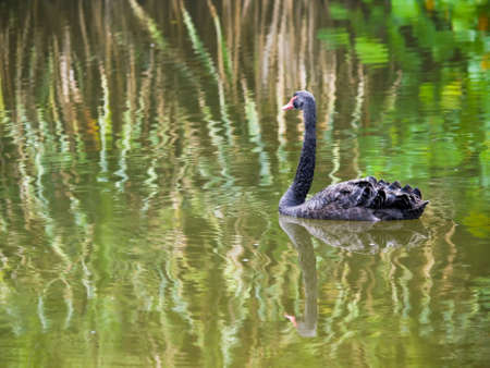 afloat: Black Swan on Rippling Reflections