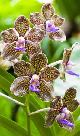 triplet: Fragrant Orchid Stock Photo