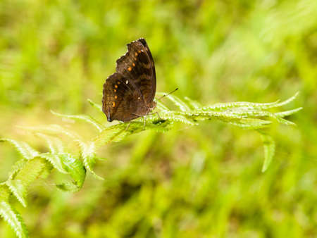 Chocolate Pansy Butterfly on Fern Frond photo