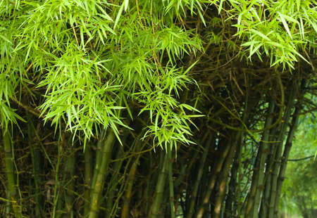thicket: Thicket of Bamboo