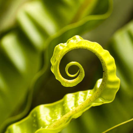 Unfurling Fern Leaf Tip Stock Photo