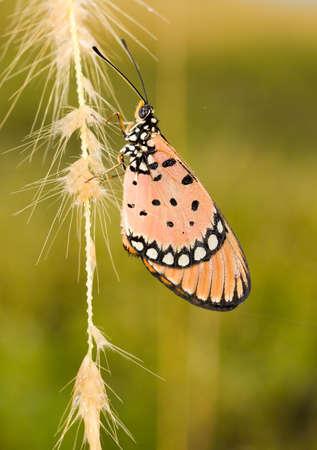 tawny: Tawny Coaster Butterfly at Dawn