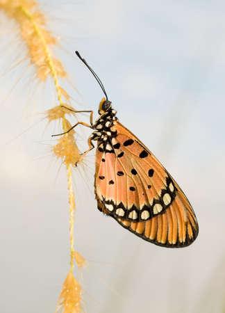 tawny: Tawny Coaster Butterfly